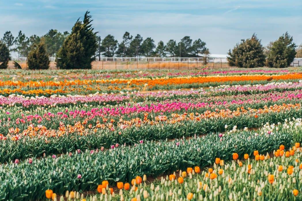 Tulip fields in Texas