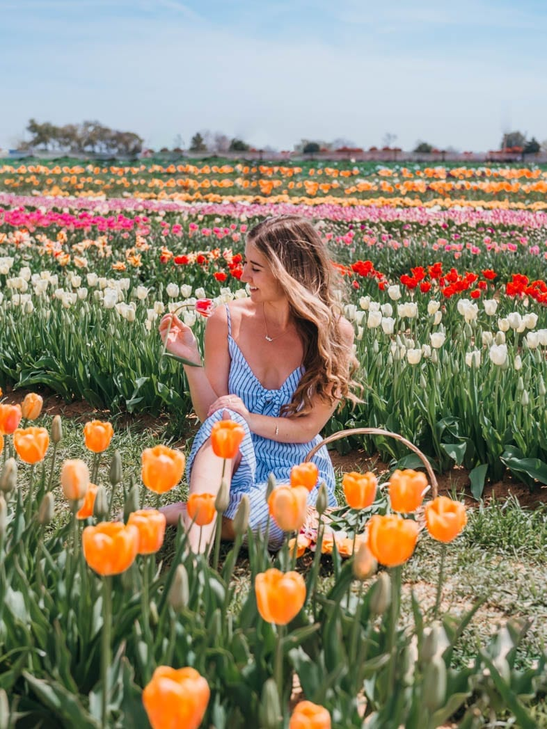 Tulip fields in Texas